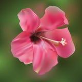 Konst för vektor för hibiskusblommablomning Fotografering för Bildbyråer