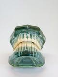 Konstgjord modell av den mänskliga käken med fäst färgrik hänglsen för tråd arkivbilder