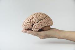 Konstgjord modell för mänsklig hjärna och innehavhand royaltyfria bilder