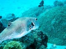 konstig fisk Royaltyfri Fotografi