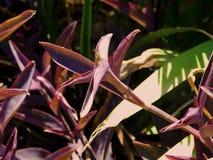 Konstig lilaväxt Arkivfoto
