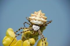 konstig spindel Arkivfoton