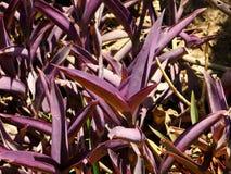 Konstiga lilaväxter Arkivbild