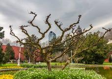 Konstigt knotigt träd i trädgården framme av den Dolmabahce slotten i Istanbul, Turkiet royaltyfri bild