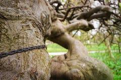 Konstigt krokigt träd med kedjan och inristade bokstäver, symboler I fotografering för bildbyråer