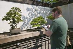 Konstnären drar det japanska bonsaiträdet i den nationella arboretumen, Washington D C royaltyfri bild