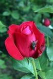 Konta de Rose Fotos de archivo libres de regalías