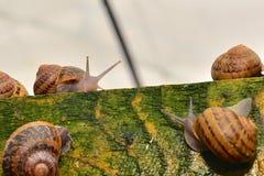 Kontakt dwa ślimaczków opowiadać Fotografia Royalty Free