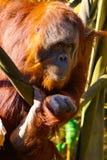Kontakt för orangutangdanandeöga Arkivfoto