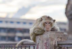 Kontakt wzrokowy od małpy zdjęcia stock