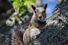 Kontakt wzrokowy wschodnich szarość wiewiórka zdjęcia royalty free