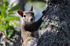 Kontakt Wzrokowy z Wschodnich szarość wiewiórką fotografia royalty free