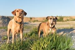 Kontinental bulldogg och labradorer Två hundvänner på en äng som är främst av blå himmel royaltyfri bild