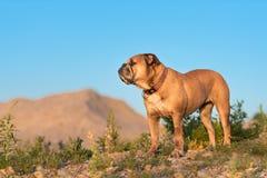Kontinentale Bulldogge ist, die vor einem Hügel stehen lizenzfreies stockfoto