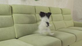 Kontinentaler Toy Spaniel Hund junge Hunderassen Papillon fängt großen Ball und Gesamtlängenvideo der Spiele auf Lager stock footage