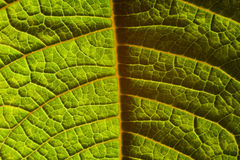 kontrast leafen Royaltyfri Fotografi