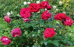 Kontrast mellan nya och vissnande rosor Arkivfoton