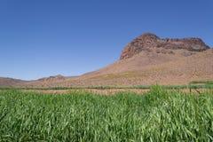 Kontrast: Zielony pole jęczmień przed suchą górą pod jasnym niebieskim niebem zdjęcie stock
