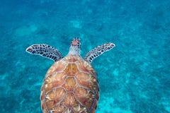 Kontrasterad sköldpadda bakifrån Arkivfoton