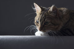 Kontrastieren Sie Porträt einer Katze in einer dunklen Ader auf dem Hintergrund Stockbild