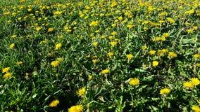 Kontrollelöwenzahn im Gras Lizenzfreies Stockbild