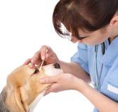 Kontrollera ögon av hunden i veterinär- klinik isolerat Royaltyfri Fotografi