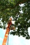 kontrollera den processionary oaken fotografering för bildbyråer