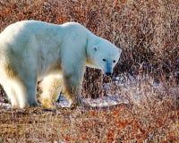 Kontrollera för isbjörn vad är bak honom Royaltyfri Foto