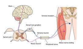 kontrollera muskelnerven Arkivbild