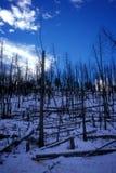 Kontrollerade brännskadaträd i vinter Royaltyfri Fotografi
