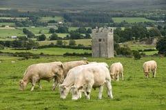 Kontrollturm in Irland mit Kühen Stockbild