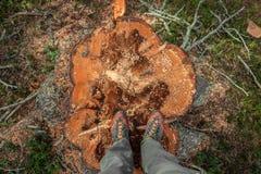 Kontrolowany wylesienie wśrodku Włoskiego lasowego przekroju poprzecznego młoda sosna obrazy royalty free