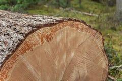 Kontrolowany wylesienie w?rodku W?oskiego lasowego przekroju poprzecznego m?oda sosna zdjęcia royalty free