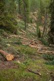 Kontrolowany wylesienie w?rodku W?oskiego lasowego przekroju poprzecznego m?oda sosna obrazy royalty free