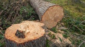 Kontrolowany wylesienie w?rodku W?oskiego lasowego przekroju poprzecznego m?oda sosna zdjęcia stock
