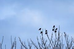 Kontur av åtta överkanten för ¾ n för fåglar Ð av trädfilialer i winten Royaltyfria Bilder