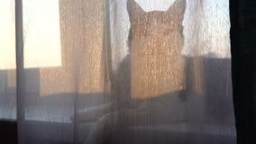 Kontur av den inhemska katten som ligger på fönsterfönsterbräda på soluppgångsolnedgången lager videofilmer