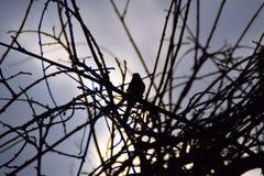 Kontur av den lilla fågeln på en filial Arkivbilder