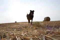 Kontur av den rinnande hunden på fältet Arkivbild