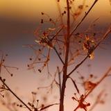 Kontur av den torkade växten på en bakgrundssolnedgång Arkivfoton