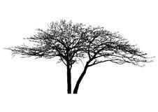 Kontur av det realistiska döda trädet för halloween garnering Royaltyfri Foto