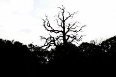 Kontur av det torra trädet i parkera av vit bakgrund royaltyfria bilder