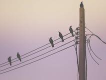 Kontur av en galande på elektrisk linje för pelare i morgonljuset arkivbild