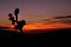 Kontur av en Joshua Tree på solnedgången Royaltyfri Fotografi