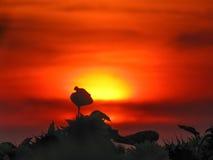 Kontur av en solros på en bakgrund av den röda solnedgången Arkivfoto