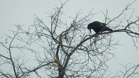 Kontur av en svart galande på ett kalt, vinterträd stock video