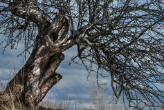 Kontur av ett gammalt löst Apple-träd Royaltyfria Foton