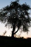 Kontur av ett träd i solnedgången Arkivbilder