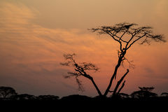 Kontur av ett träd i soluppgång Fotografering för Bildbyråer