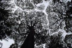Kontur av eukalyptusträd Arkivbild